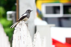 Ricebird 免版税图库摄影