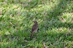 Ricebird Stockbild
