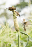 Ricebird eating sorghum plant Stock Photography