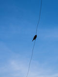 Ricebird Elegant Stand on a Wire Royalty Free Stock Image