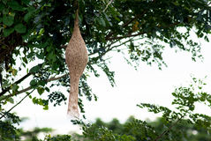 Ricebird-Nest auf Baum Stockfotografie