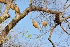 Ricebird-Nester auf den Bäumen Stockfotos