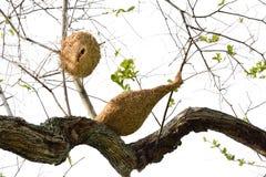 Ricebird-Nester auf den Bäumen Lizenzfreie Stockbilder