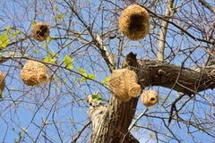 Ricebird-Nester auf den Bäumen Stockbilder