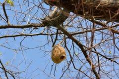 Ricebird-Nester auf den Bäumen Lizenzfreie Stockfotografie