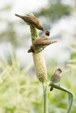 Ricebird perched on sorghum plant Royalty Free Stock Image
