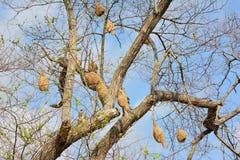 Ricebirdnesten op de bomen Stock Foto