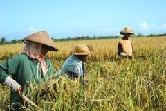 Ricefält Arkivbild