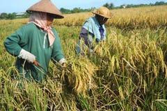 Ricefält Royaltyfria Foton