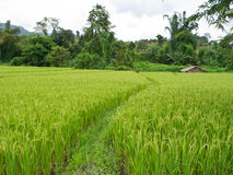 Ricefält Royaltyfri Foto