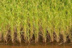 Ricefält Fotografering för Bildbyråer
