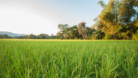 Ricefält Royaltyfri Fotografi