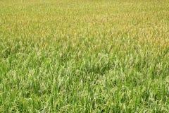 Ricefält. Royaltyfri Bild