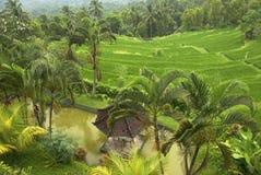 Ricefält, Bali Royaltyfri Fotografi