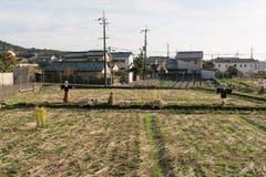 Ricefält efter skörd Fotografering för Bildbyråer