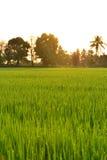 Ricefält i morgon Royaltyfri Fotografi