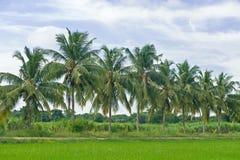 Ricefält med kokosnöttreen fotografering för bildbyråer