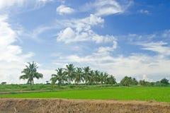 Ricefält med kokosnöttreen royaltyfri bild