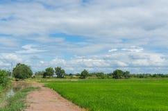 Ricefält och blå sky Arkivfoto
