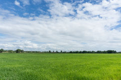 Ricefält och blå sky Royaltyfri Foto