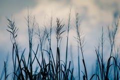 Ricefält på solnedgången arkivfoto