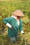 Ricefältarbetare Fotografering för Bildbyråer