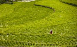 Ricefarmers Obrazy Royalty Free