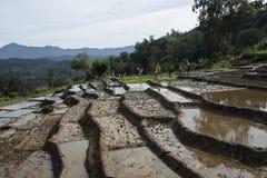 Ricefieds med vatten Ella Sri Lanka Royaltyfri Fotografi