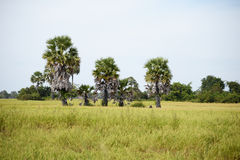Ricefield和棕榈树 库存图片