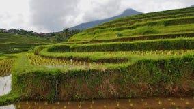 Ricefield在巴厘岛 库存图片