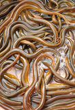 Ricefield ålar Arkivfoto