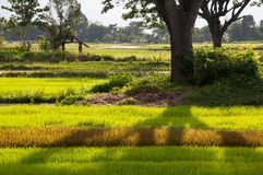 ricefield δέντρο σκιών Στοκ εικόνα με δικαίωμα ελεύθερης χρήσης