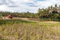 Ricefield κοντά σε Ubud Στοκ Εικόνες