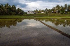 Ricefield κοντά σε Ubud Στοκ Εικόνα