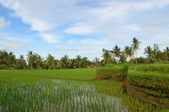Ricefield Μπαλί Στοκ Φωτογραφίες