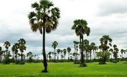 ricefield ладоней Стоковые Фотографии RF