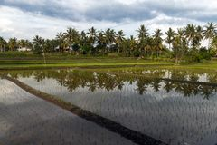 Ricefield около Ubud Стоковые Изображения RF