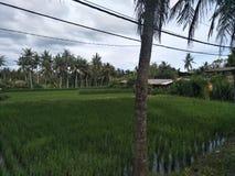 Ricefield Стоковое фото RF