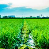 Ricefield imagen de archivo