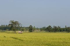 Ricefield Royalty Free Stock Images