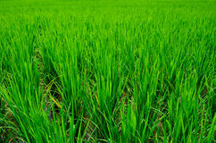 Ricefield Stock Image