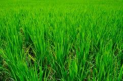 Ricefield Stockbild