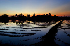 Ricefield Stock Photography