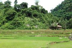 Ricefield Stockbilder