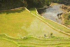 ricefield 库存图片