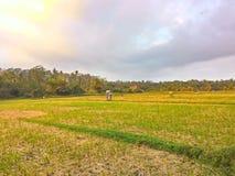 Ricefield Royalty-vrije Stock Fotografie