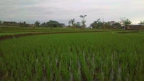 Ricefield Στοκ Εικόνες
