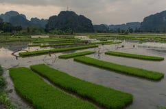 Ricefield Royaltyfri Bild