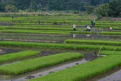 Ricefield Obrazy Royalty Free