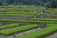 Ricefield 免版税库存图片